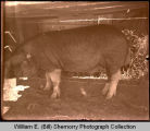 Pig in pen, Williston, N.D.