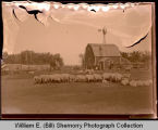 Sheep on farm, Northwest Williston, N.D.