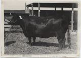 Aberdeen-Angus exhibited by R. Price and Sons, Wells County Fair, Fessenden, N.D.