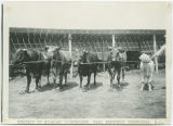 Exhibit of milking shorthorns, Wells County Fair, Fessenden, N.D.