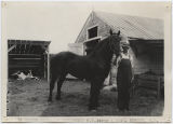 Percheron stallion exhibited by W. E. Jakle and Son, Bowdon N.D., Wells County Fair, Fessenden,...