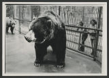 Clyde the Kodiak bear, Dakota Zoo, Bismarck, N.D.