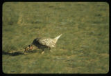 Sharp tailed grouse dancing at Upper Souris National Wildlife Refuge, N.D.