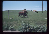 Cattle grazing west of Medora, N.D.