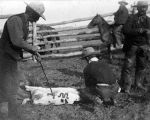 Cowboys branding calf with de Mores cattle brand, Medora, Dakota Territory