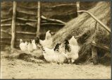 Chickens, N.D.