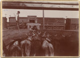 Loading cattle at Eland