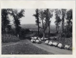 Herding sheep on the B. P. Orthmeyer farm, Hazelton, N.D.