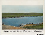 Sheep on the Naaden Ranch near Braddock, N.D.