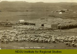 Sheep ranch near Hettinger, N.D.