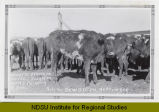 Starving cow, standing among a herd, Hettinger, N.D.