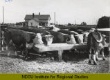 Cattle on feed, Morris Thompson, Hillsboro, N.D.
