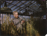 L.R. Waldron, N.D.S.U. plant breeder at work in greenhouse