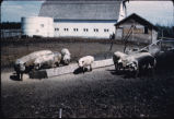Hogs in feedlot, Oscar Wicklund farm, Wheatland, N.D.