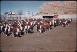 Hereford cattle in feedlot, Dickinson, N.D.