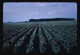 Potato field in bloom, Grafton, N.D.