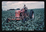 Cultivating sugarbeets, Grafton, N.D.