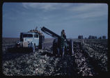 Digging and loading sugarbeets, Leo Sinner farm, Casselton, N.D.