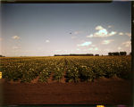 Field of potatoes in bloom, John Scott, Gilby, N.D.