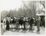 Cattle judging in Island Park, Fargo, N.D.