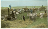 Threshing scene on the Bernard Middendorf farm, Park River, North Dakota : threshing engine pulled...
