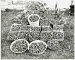 Who said you couldn't grow strawberries in North Dakota