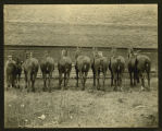 Mare and her seven daughters, owned by James Parkman, Hope, N.D.