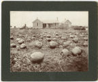 James Judd's pumpkin patch, Fargo, N.D.